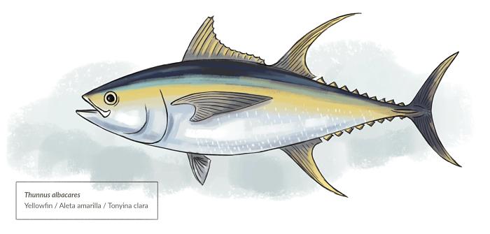 Ilustración científica de Thunnus Albacares o Atún de Aleta Amarilla