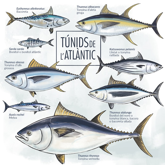 Especies de tonyines que habiten a l'Oceà Atlàntic