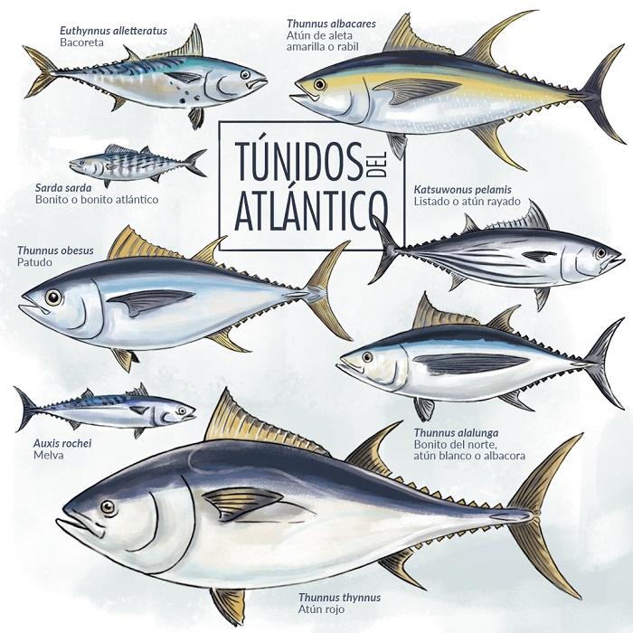 Especies de atún que habitan en el Océano Atlántico