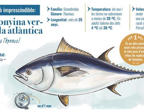 FITXA DE DADES ESSENCIALS DE LA TONYINA VERMELLA ATLÀNTICA