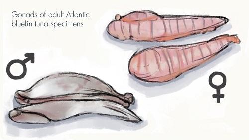 Illustration of the femenine and masculine Atlantic Bluefin tuna gonads.