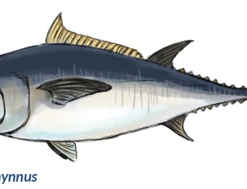 CAN ONE TUNA SPECIES BREED WITH ANOTHER FROM ANOTHER GEOGRAPHIC LOCATION (ATLANTIC WITH PACIFIC OR SOUTHERN BLUEFIN)?