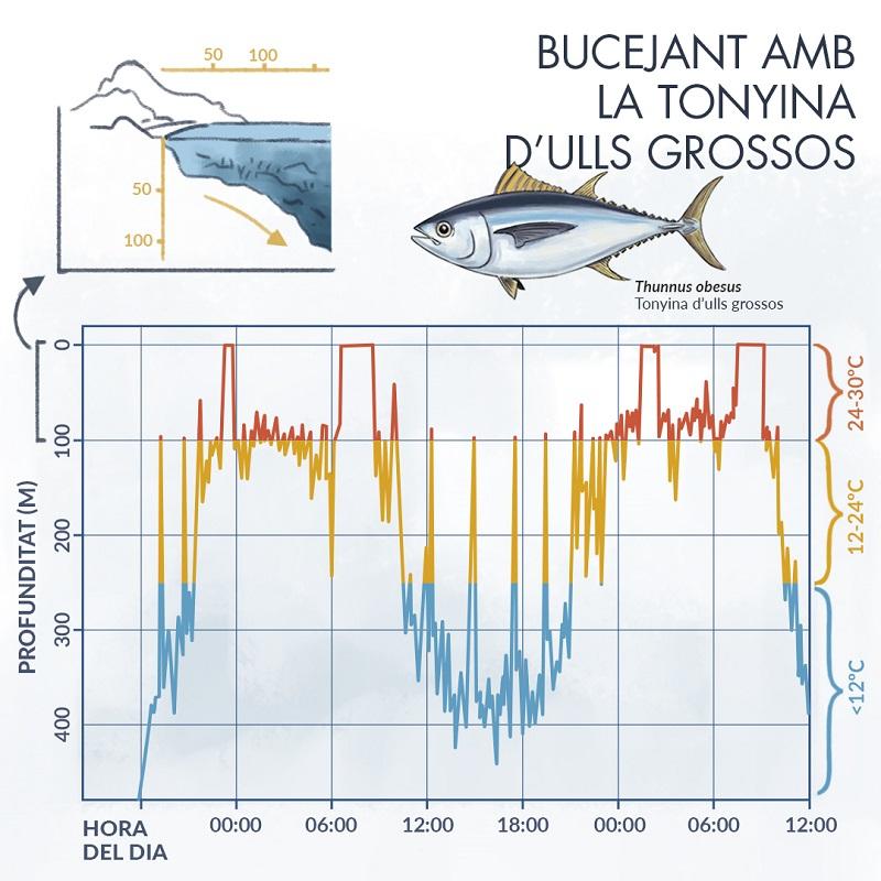 Infografia sobre la tonyina d'ulls grossos i la profunditat en relació a les hores del dia i la temperatura de l'aigua