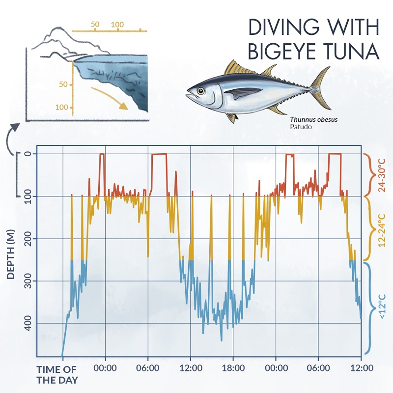 Infographics about bigeye tuna and depths during 24 hours