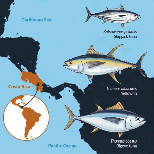Infographics about tuna species from the Pacific and Caribbean Costa Rica waters