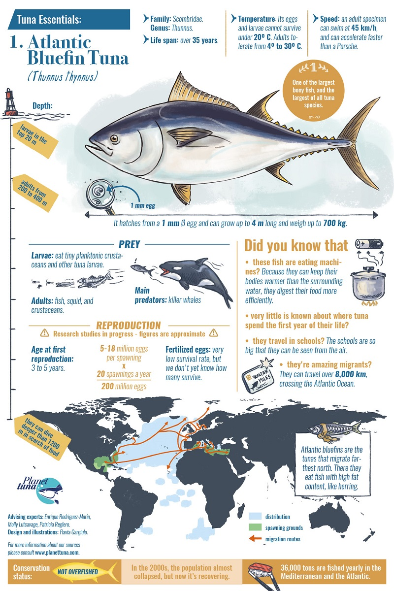 Atlantic bluefin tuna essential fact sheet